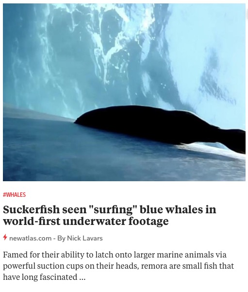 https://newatlas.com/biology/suckerfish-surfing-blue-whales-first-underwater-footage/